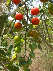 Tomatoes in my neighbor's garden in Ibiza